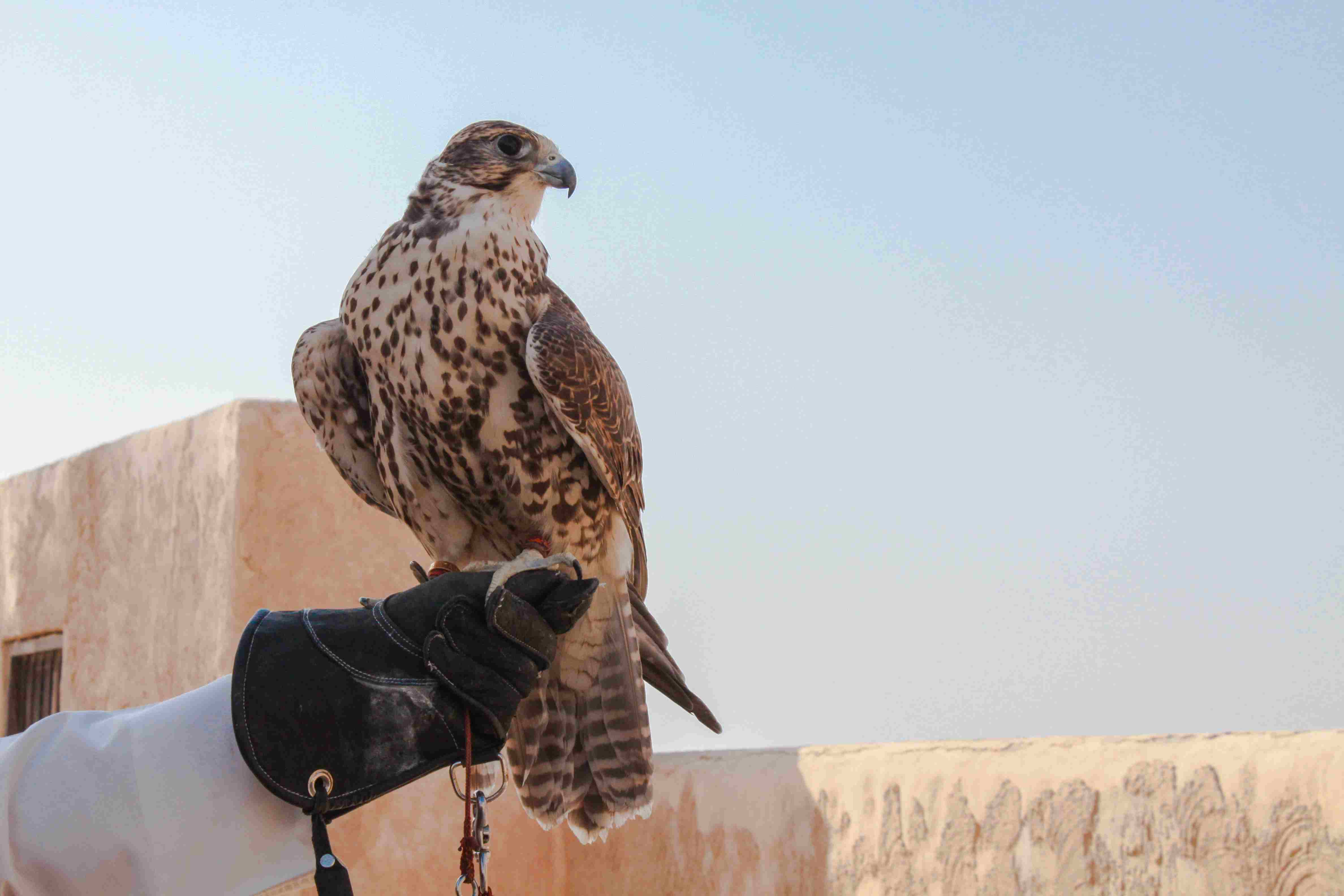 Man Holding His Falcon Before Using It To Hunt Birds And Rabbits