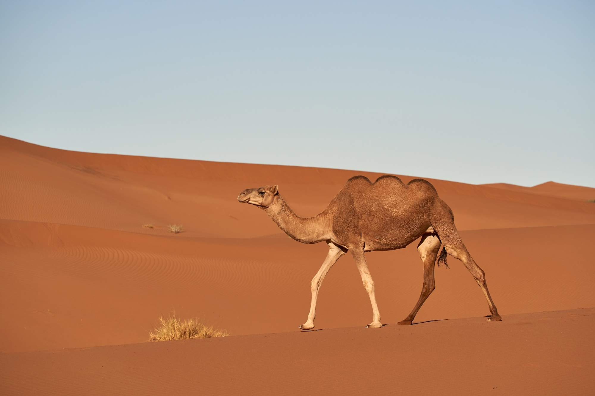 A three-humped camel discovered on the Arabian Peninsula