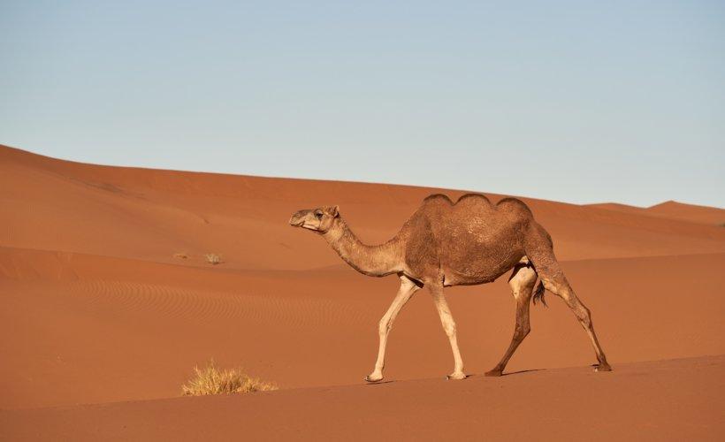 Des chameaux à trois bosses découverts sur la péninsule arabique